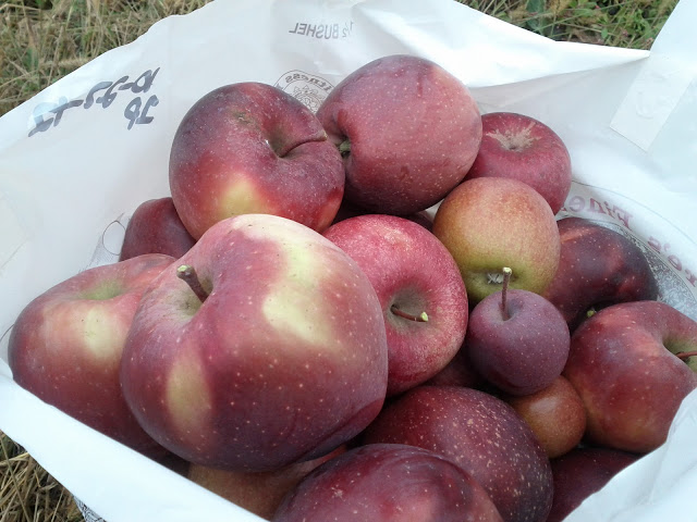 apple picking loot half a bushel