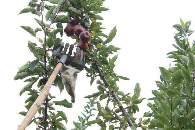apple picking gear - a long pole with a basket on top
