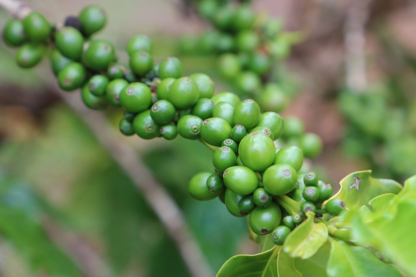 coffee beans on the vine
